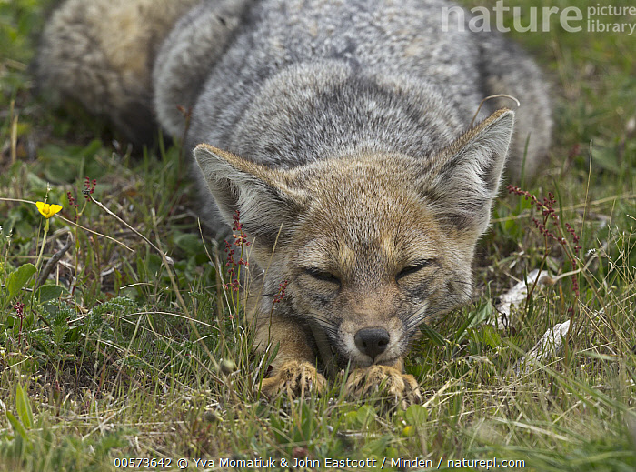 South American Gray Fox (Lycalopex griseus) sleeping, Los Glaciares National Park, Patagonia, Argentina  ,  Adult, Argentina, Color Image, Day, Front View, Horizontal, Los Glaciares National Park, Lycalopex griseus, Nobody, One Animal, Outdoors, Patagonia, Photography, Sleeping, South American Gray Fox, Three Quarter Length, Wildlife,South American Gray Fox,Argentina  ,  Yva Momatiuk & John Eastcott