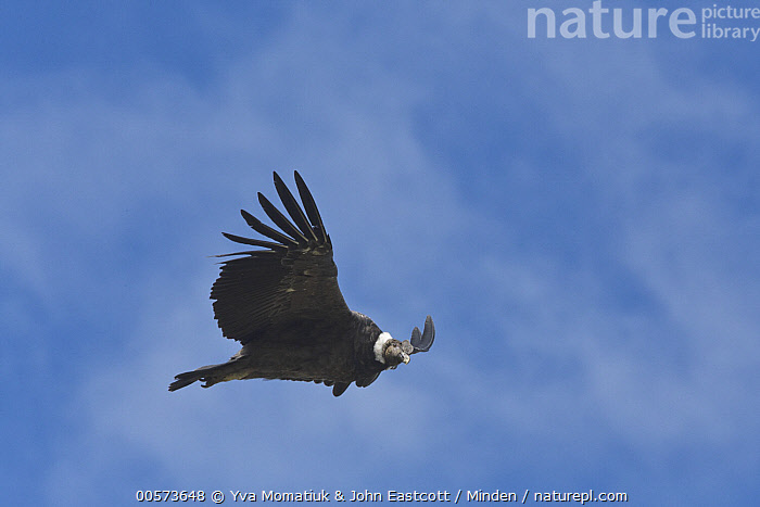 Andean Condor (Vultur gryphus) flying, Torres del Paine National Park, Patagonia, Chile  ,  Adult, Andean Condor, Chile, Color Image, Day, Flying, Full Length, Horizontal, Low Angle View, Nobody, One Animal, Outdoors, Patagonia, Photography, Raptor, Side View, Torres Del Paine National Park, Vultur gryphus, Wildlife,Andean Condor,Chile  ,  Yva Momatiuk & John Eastcott