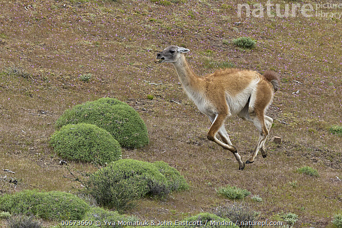 Guanaco (Lama guanicoe) male chasing rival in spring, Torres del Paine National Park, Patagonia, Chile  ,  Adult, Chasing, Chile, Color Image, Competition, Day, Full Length, Guanaco, Horizontal, Lama guanicoe, Male, Nobody, One Animal, Outdoors, Patagonia, Photography, Running, Side View, Spring, Torres Del Paine National Park, Wildlife,Guanaco,Chile  ,  Yva Momatiuk & John Eastcott