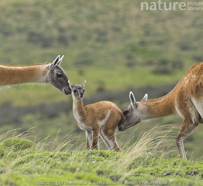Guanaco (Lama guanicoe) cria sniffed by herd members, Torres del Paine National Park, Patagonia, Chile  ,  Adult, Baby, Bonding, Chile, Color Image, Cria, Day, Full Length, Guanaco, Head, Herd, Horizontal, Lama guanicoe, Nobody, Outdoors, Patagonia, Photography, Side View, Smelling, Square, Three Animals, Torres Del Paine National Park, Waist Up, Wildlife,Guanaco,Chile  ,  Yva Momatiuk & John Eastcott