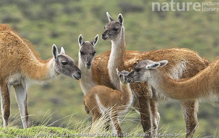 Guanaco (Lama guanicoe) cria sniffed by herd members, Torres del Paine National Park, Patagonia, Chile  ,  Adult, Baby, Bonding, Chile, Color Image, Cria, Day, Five Animals, Guanaco, Herd, Horizontal, Lama guanicoe, Nobody, Outdoors, Patagonia, Photography, Side View, Smelling, Three Quarter Length, Torres Del Paine National Park, Waist Up, Wildlife,Guanaco,Chile  ,  Yva Momatiuk & John Eastcott
