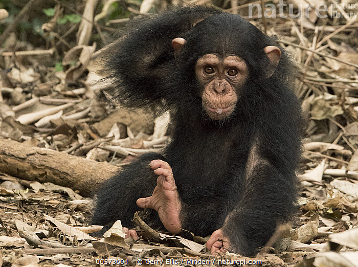Chimpanzee (Pan troglodytes) orphan Larry scratching, Ape Action Africa, Mefou Primate Sanctuary, Cameroon  ,  Baby, Cameroon, Captive, Chimpanzee, Color Image, Day, Endangered Species, Front View, Full Length, Horizontal, Mefou Primate Sanctuary, Nobody, One Animal, Orphan, Outdoors, Pan troglodytes, Photography, Scratching, Wildlife, Young,Baby, Cameroon, Captive, Chimpanzee, Color Image, Day, Endangered Species, Front View, Full Length, Horizontal, Mefou Primate Sanctuary, Nobody, One Animal, Orphan, Outdoors, Pan troglodytes, Photography, Scratching, Wildlife, Young  ,  Gerry Ellis