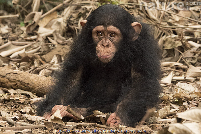 Chimpanzee (Pan troglodytes) orphan Larry, Ape Action Africa, Mefou Primate Sanctuary, Cameroon  ,  Baby, Cameroon, Captive, Chimpanzee, Color Image, Cute, Day, Endangered Species, Front View, Full Length, Horizontal, Looking at Camera, Mefou Primate Sanctuary, Nobody, One Animal, Orphan, Outdoors, Pan troglodytes, Photography, Sitting, Wildlife, Young  ,  Gerry Ellis