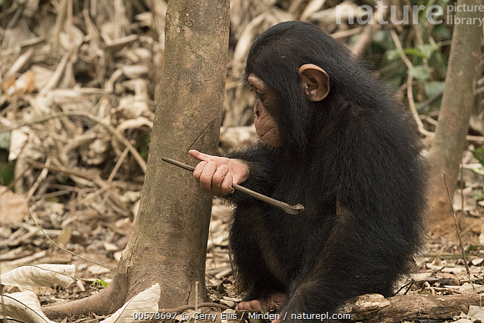Chimpanzee (Pan troglodytes) orphan Larry learning how to use tools, Ape Action Africa, Mefou Primate Sanctuary, Cameroon  ,  Baby, Cameroon, Captive, Chimpanzee, Color Image, Day, Endangered Species, Horizontal, Learning, Mefou Primate Sanctuary, Nobody, One Animal, Orphan, Outdoors, Pan troglodytes, Photography, Side View, Three Quarter Length, Tool Use, Wildlife, Young  ,  Gerry Ellis