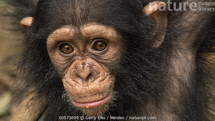 Chimpanzee (Pan troglodytes) orphan Larry, Ape Action Africa, Mefou Primate Sanctuary, Cameroon  ,  Baby, Cameroon, Captive, Chimpanzee, Color Image, Day, Endangered Species, Front View, Head and Shoulders, Horizontal, Looking at Camera, Mefou Primate Sanctuary, Nobody, One Animal, Orphan, Outdoors, Pan troglodytes, Photography, Portrait, Wildlife, Young  ,  Gerry Ellis
