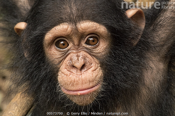 Chimpanzee (Pan troglodytes) orphan Larry, Ape Action Africa, Mefou Primate Sanctuary, Cameroon  ,  Baby, Cameroon, Captive, Chimpanzee, Color Image, Day, Endangered Species, Front View, Head and Shoulders, Horizontal, Looking at Camera, Mefou Primate Sanctuary, Nobody, One Animal, Orphan, Outdoors, Pan troglodytes, Photography, Portrait, Wildlife, Young,Baby, Cameroon, Captive, Chimpanzee, Color Image, Day, Endangered Species, Front View, Head and Shoulders, Horizontal, Looking at Camera, Mefou Primate Sanctuary, Nobody, One Animal, Orphan, Outdoors, Pan troglodytes, Photography, Portrait, Wildlife, Young  ,  Gerry Ellis