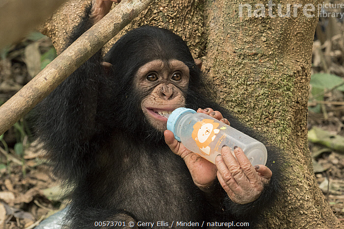 Chimpanzee (Pan troglodytes) orphan Larry bottle feeding, Ape Action Africa, Mefou Primate Sanctuary, Cameroon  ,  Baby, Bottle, Cameroon, Captive, Chimpanzee, Color Image, Day, Endangered Species, Feeding, Horizontal, Mefou Primate Sanctuary, Nobody, One Animal, Orphan, Outdoors, Pan troglodytes, Photography, Side View, Waist Up, Wildlife, Young  ,  Gerry Ellis