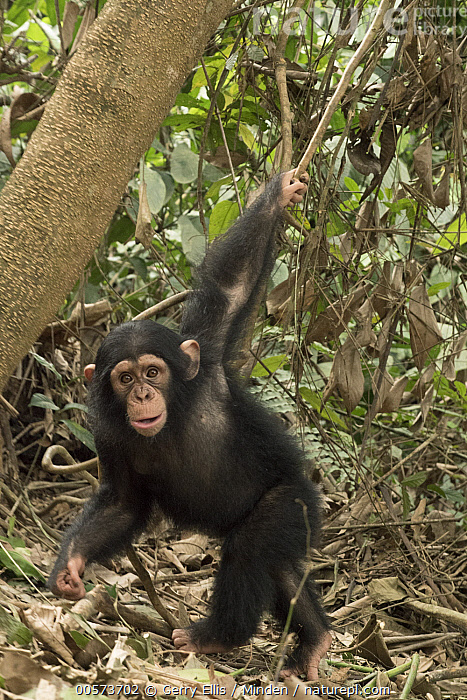 Chimpanzee (Pan troglodytes) orphan Larry swinging from a branch, Ape Action Africa, Mefou Primate Sanctuary, Cameroon  ,  Baby, Cameroon, Captive, Chimpanzee, Color Image, Day, Endangered Species, Full Length, Looking at Camera, Mefou Primate Sanctuary, Nobody, One Animal, Orphan, Outdoors, Pan troglodytes, Photography, Playing, Side View, Swinging, Vertical, Wildlife, Young  ,  Gerry Ellis
