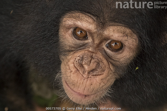 Chimpanzee (Pan troglodytes) orphan Larry, Ape Action Africa, Mefou Primate Sanctuary, Cameroon  ,  Baby, Cameroon, Captive, Chimpanzee, Close Up, Color Image, Day, Endangered Species, Face, Front View, Full Frame, Head and Shoulders, Horizontal, Looking at Camera, Mefou Primate Sanctuary, Nobody, One Animal, Orphan, Outdoors, Pan troglodytes, Photography, Portrait, Wildlife, Young  ,  Gerry Ellis