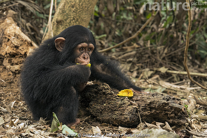 Chimpanzee (Pan troglodytes) orphan Larry feeding, Ape Action Africa, Mefou Primate Sanctuary, Cameroon  ,  Baby, Cameroon, Captive, Chimpanzee, Color Image, Day, Endangered Species, Feeding, Full Length, Horizontal, Mefou Primate Sanctuary, Nobody, One Animal, Orphan, Outdoors, Pan troglodytes, Photography, Side View, Wildlife, Young  ,  Gerry Ellis