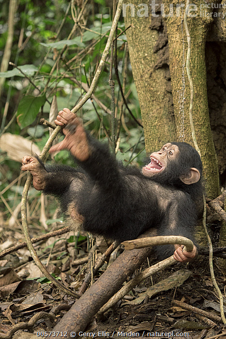 Chimpanzee (Pan troglodytes) orphan Larry playing in forest nursery, Ape Action Africa, Mefou Primate Sanctuary, Cameroon  ,  Baby, Cameroon, Captive, Chimpanzee, Color Image, Day, Endangered Species, Full Length, Mefou Primate Sanctuary, Nobody, One Animal, Open Mouth, Orphan, Outdoors, Pan troglodytes, Photography, Playing, Sequence, Side View, Vertical, Wildlife, Young  ,  Gerry Ellis
