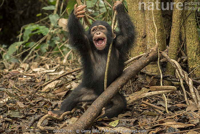 Chimpanzee (Pan troglodytes) orphan Larry playing in forest nursery, Ape Action Africa, Mefou Primate Sanctuary, Cameroon  ,  Baby, Cameroon, Captive, Chimpanzee, Color Image, Day, Emoting, Endangered Species, Front View, Horizontal, Mefou Primate Sanctuary, Nobody, One Animal, Orphan, Outdoors, Pan troglodytes, Photography, Playing, Sequence, Three Quarter Length, Wildlife, Young,Baby, Cameroon, Captive, Chimpanzee, Color Image, Day, Emoting, Endangered Species, Front View, Horizontal, Mefou Primate Sanctuary, Nobody, One Animal, Orphan, Outdoors, Pan troglodytes, Photography, Playing, Sequence, Three Quarter Length, Wildlife, Young  ,  Gerry Ellis