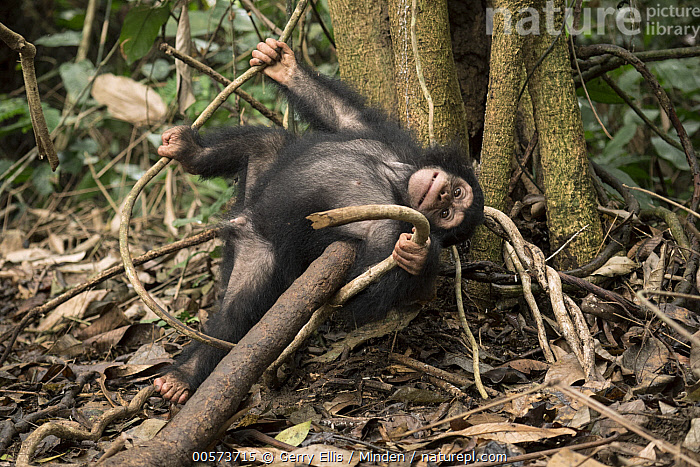 Chimpanzee (Pan troglodytes) orphan Larry playing in forest nursery, Ape Action Africa, Mefou Primate Sanctuary, Cameroon  ,  Baby, Cameroon, Captive, Chimpanzee, Color Image, Day, Endangered Species, Full Length, Horizontal, Looking at Camera, Mefou Primate Sanctuary, Nobody, One Animal, Orphan, Outdoors, Pan troglodytes, Photography, Playing, Sequence, Side View, Wildlife, Young  ,  Gerry Ellis