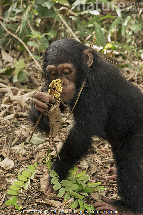 Chimpanzee (Pan troglodytes) orphan Daphne feeding, Apce Action Africa, Mefou Primate Sanctuary, Cameroon  ,  Baby, Cameroon, Captive, Chimpanzee, Color Image, Day, Endangered Species, Feeding, Mefou Primate Sanctuary, Nobody, One Animal, Orphan, Outdoors, Pan troglodytes, Photography, Side View, Three Quarter Length, Vertical, Wildlife, Young  ,  Gerry Ellis