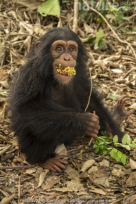 Chimpanzee (Pan troglodytes) orphan Daphne feeding, Ape Action Africa, Mefou Primate Sanctuary, Cameroon  ,  Baby, Cameroon, Captive, Chimpanzee, Color Image, Day, Endangered Species, Feeding, Full Length, Looking at Camera, Mefou Primate Sanctuary, Nobody, One Animal, Orphan, Outdoors, Pan troglodytes, Photography, Side View, Vertical, Wildlife, Young  ,  Gerry Ellis