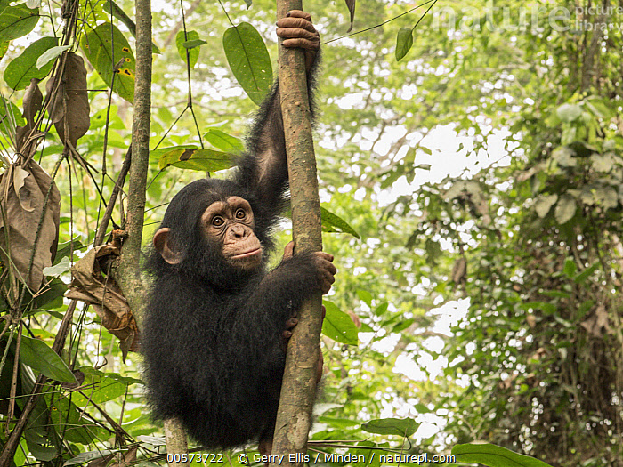 Chimpanzee (Pan troglodytes) orphan Larry climbing in forest nursery, Ape Action Africa, Mefou Primate Sanctuary, Cameroon  ,  Arboreal, Baby, Cameroon, Captive, Chimpanzee, Climbing, Color Image, Day, Endangered Species, Full Length, Horizontal, Mefou Primate Sanctuary, Nobody, One Animal, Orphan, Outdoors, Pan troglodytes, Photography, Side View, Wildlife, Young,Arboreal, Baby, Cameroon, Captive, Chimpanzee, Climbing, Color Image, Day, Endangered Species, Full Length, Horizontal, Mefou Primate Sanctuary, Nobody, One Animal, Orphan, Outdoors, Pan troglodytes, Photography, Side View, Wildlife, Young  ,  Gerry Ellis