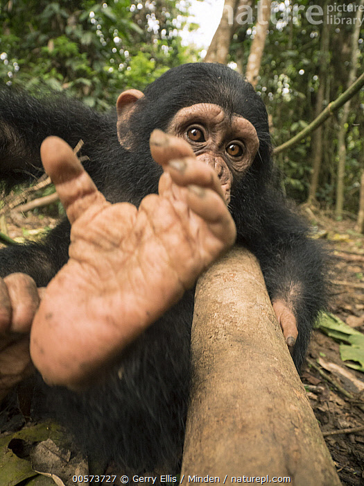 Chimpanzee (Pan troglodytes) orphan Larry's foot, Ape Action Africa, Mefou Primate Sanctuary, Cameroon  ,  Baby, Cameroon, Captive, Chimpanzee, Color Image, Day, Endangered Species, Foot, Front View, Mefou Primate Sanctuary, Nobody, One Animal, Orphan, Outdoors, Pan troglodytes, Photography, Three Quarter Length, Vertical, Wildlife, Young  ,  Gerry Ellis