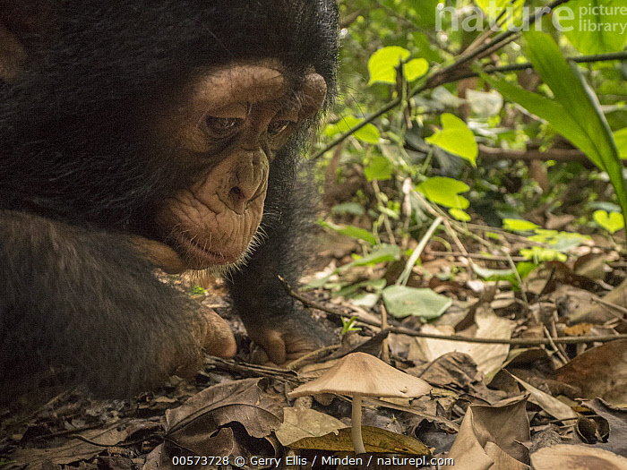Chimpanzee (Pan troglodytes) orphan Larry investigating mushroom on forest floor, Ape Action Africa, Mefou Primate Sanctuary, Cameroon, sequence 1 of 2  ,  Baby, Cameroon, Captive, Chimpanzee, Close Up, Color Image, Curiosity, Curious, Day, Endangered Species, Forest Floor, Head and Shoulders, Horizontal, Investigating, Mefou Primate Sanctuary, Mushroom, Nobody, One Animal, Orphan, Outdoors, Pan troglodytes, Photography, Sequence, Side View, Wildlife, Young  ,  Gerry Ellis