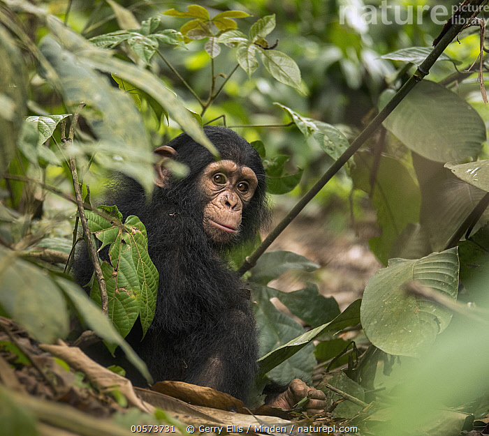 Chimpanzee (Pan troglodytes) orphan Larry, Ape Action Africa, Mefou Primate Sanctuary, Cameroon  ,  Baby, Cameroon, Captive, Chimpanzee, Color Image, Day, Endangered Species, Full Length, Horizontal, Looking at Camera, Mefou Primate Sanctuary, Nobody, One Animal, Orphan, Outdoors, Pan troglodytes, Photography, Side View, Square, Wildlife, Young,Baby, Cameroon, Captive, Chimpanzee, Color Image, Day, Endangered Species, Full Length, Horizontal, Looking at Camera, Mefou Primate Sanctuary, Nobody, One Animal, Orphan, Outdoors, Pan troglodytes, Photography, Side View, Square, Wildlife, Young  ,  Gerry Ellis