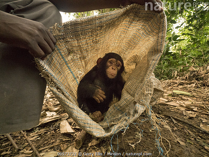 Chimpanzee (Pan troglodytes) orphan Larry in bag held by keeper, Ape Action Africa, Mefou Primate Sanctuary, Cameroon  ,  African Descent, Baby, Bag, Cameroon, Captive, Chimpanzee, Color Image, Conservation, Cute, Day, Endangered Species, Full Length, Hand, Horizontal, Keeper, Looking at Camera, Mefou Primate Sanctuary, One Animal, One Person, Orphan, Outdoors, Pan troglodytes, Photography, Playing, Side View, Wildlife, Young  ,  Gerry Ellis