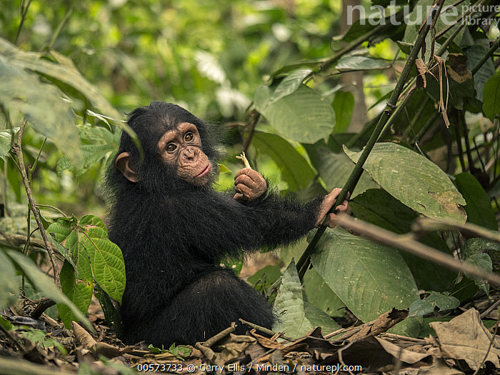 Chimpanzee (Pan troglodytes) orphan Larry in forest nursery, Ape Action Africa, Mefou Primate Sanctuary, Cameroon  ,  Baby, Cameroon, Captive, Chimpanzee, Color Image, Day, Endangered Species, Full Length, Horizontal, Looking at Camera, Mefou Primate Sanctuary, Nobody, One Animal, Orphan, Outdoors, Pan troglodytes, Photography, Side View, Wildlife, Young  ,  Gerry Ellis