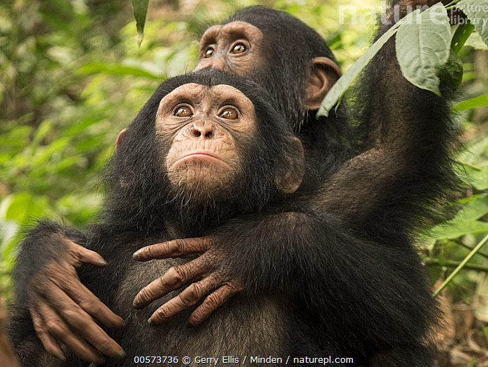 Chimpanzee (Pan troglodytes) orphans Larry and Daphne hugging, Ape Action Africa, Mefou Primate Sanctuary, Cameroon  ,  Baby, Cameroon, Captive, Chimpanzee, Color Image, Cute, Day, Endangered Species, Front View, Holding, Horizontal, Hugging, Mefou Primate Sanctuary, Nobody, Orphan, Outdoors, Pan troglodytes, Photography, Two Animals, Waist Up, Wildlife, Young  ,  Gerry Ellis
