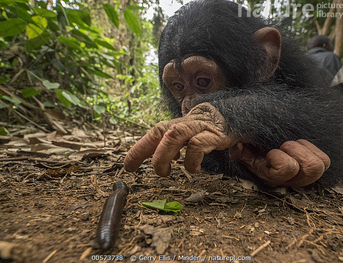 Chimpanzee (Pan troglodytes) orphan Larry cautiously investigating millipede, Ape Action Africa, Mefou Primate Sanctuary, Cameroon  ,  Baby, Cameroon, Captive, Chimpanzee, Color Image, Curiosity, Curious, Day, Endangered Species, Front View, Full Length, Horizontal, Investigating, Mefou Primate Sanctuary, Millipede, Nobody, Orphan, Outdoors, Pan troglodytes, Photography, Sequence, Side View, Three Quarter Length, Two Animals, Wide-angle Lens, Wildlife, Young,Baby, Cameroon, Captive, Chimpanzee, Color Image, Curiosity, Curious, Day, Endangered Species, Front View, Full Length, Horizontal, Investigating, Mefou Primate Sanctuary, Millipede, Nobody, Orphan, Outdoors, Pan troglodytes, Photography, Sequence, Side View, Three Quarter Length, Two Animals, Wide-angle Lens, Wildlife, Young  ,  Gerry Ellis