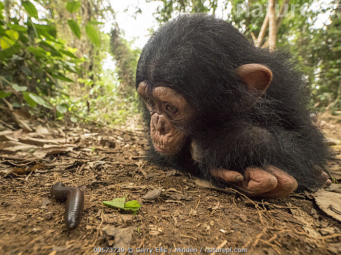Chimpanzee (Pan troglodytes) orphan Larry cautiously investigating millipede, Ape Action Africa, Mefou Primate Sanctuary, Cameroon  ,  Baby, Cameroon, Captive, Chimpanzee, Color Image, Curiosity, Curious, Day, Endangered Species, Front View, Full Length, Horizontal, Investigating, Mefou Primate Sanctuary, Millipede, Nobody, Orphan, Outdoors, Pan troglodytes, Photography, Sequence, Side View, Two Animals, Wide-angle Lens, Wildlife, Young  ,  Gerry Ellis