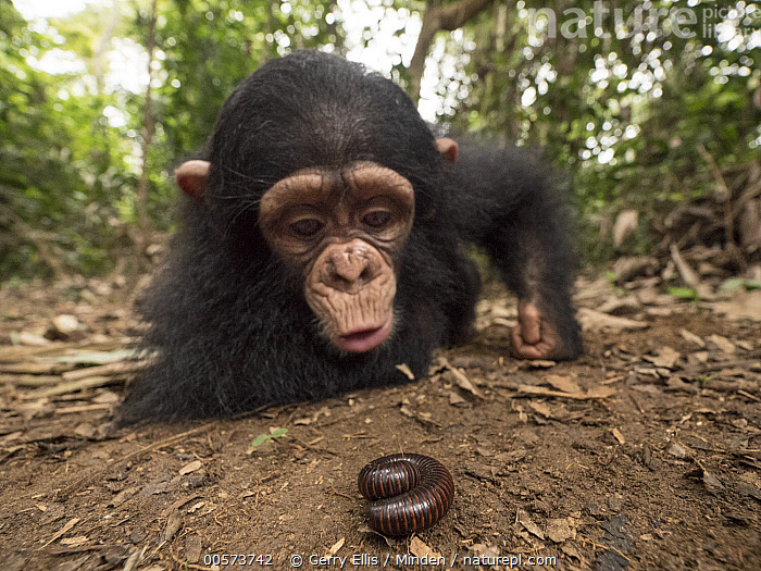 Chimpanzee (Pan troglodytes) orphan Larry cautiously investigating millipede, Ape Action Africa, Mefou Primate Sanctuary, Cameroon  ,  Baby, Cameroon, Captive, Chimpanzee, Color Image, Curiosity, Curious, Day, Endangered Species, Front View, Full Length, Horizontal, Investigating, Mefou Primate Sanctuary, Millipede, Nobody, Orphan, Outdoors, Pan troglodytes, Photography, Sequence, Two Animals, Wide-angle Lens, Wildlife, Young,Baby, Cameroon, Captive, Chimpanzee, Color Image, Curiosity, Curious, Day, Endangered Species, Front View, Full Length, Horizontal, Investigating, Mefou Primate Sanctuary, Millipede, Nobody, Orphan, Outdoors, Pan troglodytes, Photography, Sequence, Two Animals, Wide-angle Lens, Wildlife, Young  ,  Gerry Ellis