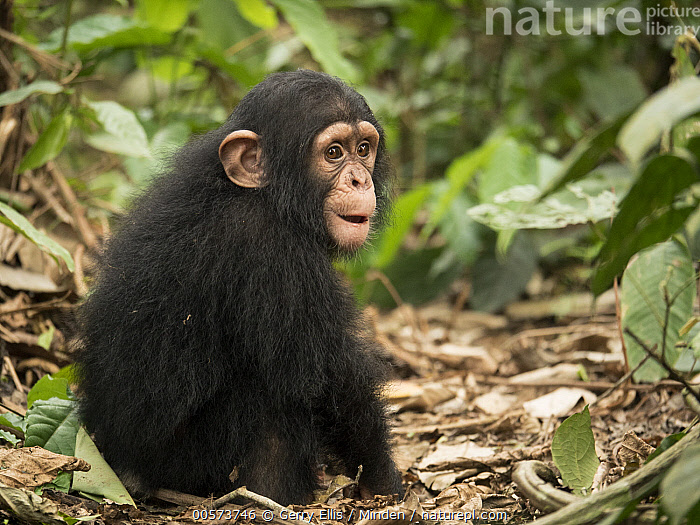 Chimpanzee (Pan troglodytes) orphan Larry, Ape Action Africa, Mefou Primate Sanctuary, Cameroon  ,  Baby, Cameroon, Captive, Chimpanzee, Color Image, Day, Endangered Species, Full Length, Horizontal, Mefou Primate Sanctuary, Nobody, One Animal, Orphan, Outdoors, Pan troglodytes, Photography, Side View, Sitting, Wildlife, Young  ,  Gerry Ellis