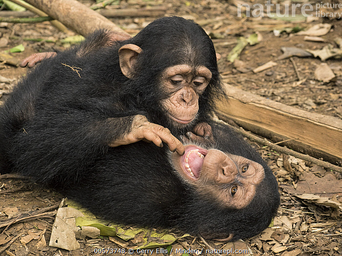 Chimpanzee (Pan troglodytes) orphans, Larry investigates Daphne's mouth, Ape Action Africa, Mefou Primate Sanctuary, Cameroon  ,  Baby, Cameroon, Captive, Chimpanzee, Color Image, Curiosity, Day, Endangered Species, Finger, Horizontal, Mefou Primate Sanctuary, Mouth, Nobody, Orphan, Outdoors, Pan troglodytes, Photography, Playing, Sequence, Side View, Three Quarter Length, Tongue, Two Animals, Wildlife, Young  ,  Gerry Ellis