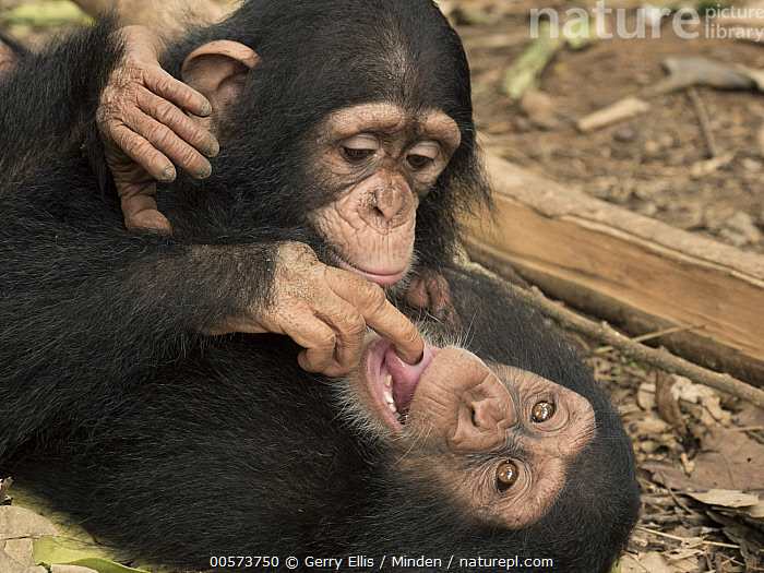 Chimpanzee (Pan troglodytes) orphans, Larry investigating Daphne's tongue, Ape Action Africa, Mefou Primate Sanctuary, Cameroon  ,  Baby, Cameroon, Captive, Chimpanzee, Color Image, Curiosity, Day, Endangered Species, Finger, Horizontal, Mefou Primate Sanctuary, Mouth, Nobody, Orphan, Outdoors, Pan troglodytes, Photography, Playing, Sequence, Side View, Tongue, Two Animals, Waist Up, Wildlife, Young  ,  Gerry Ellis