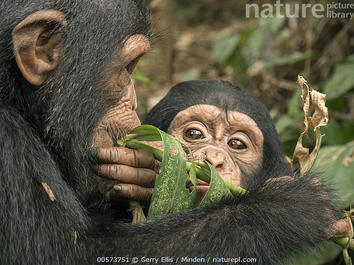 Chimpanzee (Pan troglodytes) orphans Daphne and Larry testing new leaf for taste, Ape Action Africa, Mefou Primate Sanctuary, Cameroon  ,  Baby, Cameroon, Captive, Chimpanzee, Color Image, Day, Endangered Species, Feeding, Head and Shoulders, Horizontal, Investigating, Learning, Mefou Primate Sanctuary, Nobody, Orphan, Outdoors, Pan troglodytes, Photography, Side View, Tasting, Testing, Two Animals, Watching, Wildlife, Young  ,  Gerry Ellis
