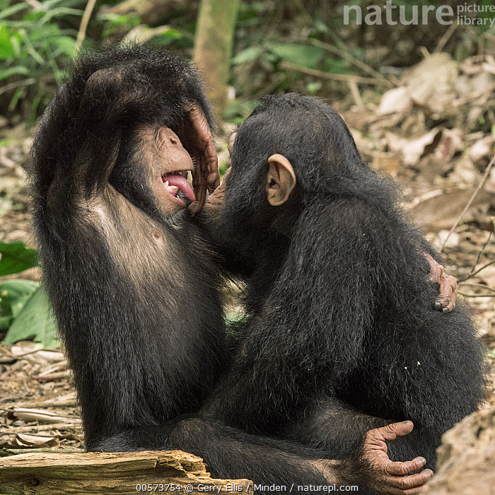 Chimpanzee (Pan troglodytes) 8 month old orphans Larry and Daphne on play date, Ape Action Africa, Mefou Primate Sanctuary, Cameroon  ,  Baby, Cameroon, Captive, Chimpanzee, Color Image, Day, Endangered Species, Full Length, Mefou Primate Sanctuary, Nobody, Orphan, Outdoors, Pan troglodytes, Photography, Playing, Side View, Square, Three Quarter Length, Tongue, Two Animals, Wildlife, Young  ,  Gerry Ellis