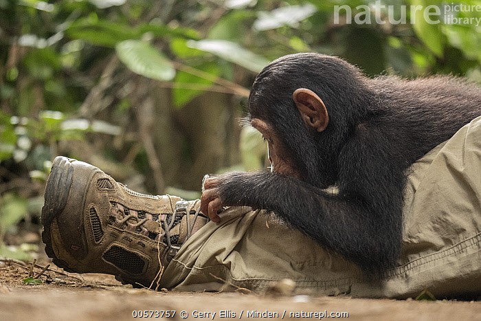 Chimpanzee (Pan troglodytes) orphan Larry investigating keeper's shoe, Ape Action Africa, Mefou Primate Sanctuary, Cameroon  ,  Baby, Cameroon, Captive, Chimpanzee, Color Image, Conservation, Curiosity, Curious, Day, Endangered Species, Foot, Horizontal, Investigating, Keeper, Leg, Mefou Primate Sanctuary, One Animal, One Person, Orphan, Outdoors, Pan troglodytes, Photography, Shoe, Side View, Waist Up, Wildlife, Young  ,  Gerry Ellis