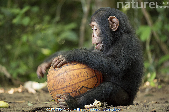 Chimpanzee (Pan troglodytes) 2 yr old orphan Paula playing with ball, Ape Action Africa, Mefou Primate Sanctuary, Cameroon  ,  Baby, Ball, Cameroon, Captive, Chimpanzee, Color Image, Day, Endangered Species, Full Length, Horizontal, Mefou Primate Sanctuary, Nobody, One Animal, Orphan, Outdoors, Pan troglodytes, Photography, Playing, Side View, Wildlife, Young  ,  Gerry Ellis