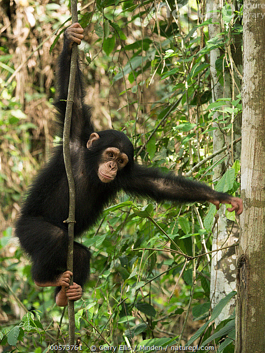 Chimpanzee (Pan troglodytes) orphan Larry in forest nursery, Ape Action Africa, Mefou Primate Sanctuary, Cameroon  ,  Arboreal, Baby, Cameroon, Captive, Chimpanzee, Climbing, Color Image, Day, Endangered Species, Full Length, Mefou Primate Sanctuary, Nobody, One Animal, Orphan, Outdoors, Pan troglodytes, Photography, Side View, Vertical, Wildlife, Young,Arboreal, Baby, Cameroon, Captive, Chimpanzee, Climbing, Color Image, Day, Endangered Species, Full Length, Mefou Primate Sanctuary, Nobody, One Animal, Orphan, Outdoors, Pan troglodytes, Photography, Side View, Vertical, Wildlife, Young  ,  Gerry Ellis