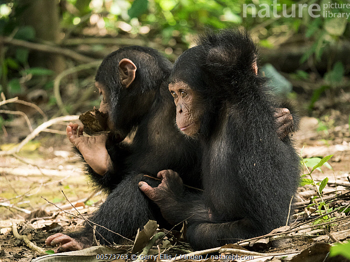 Chimpanzee (Pan troglodytes) orphans Lomie and Jenny holding each other in forest nursery, Ape Action Africa, Mefou Primate Sanctuary, Cameroon  ,  Baby, Cameroon, Captive, Chimpanzee, Color Image, Day, Endangered Species, Full Length, Holding, Horizontal, Hugging, Mefou Primate Sanctuary, Nobody, Orphan, Outdoors, Pan troglodytes, Photography, Side View, Two Animals, Wildlife, Young  ,  Gerry Ellis