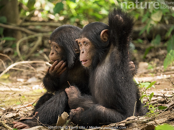 Chimpanzee (Pan troglodytes) orphans Lomie and Jenny holding each other, Ape Action Africa, Mefou Primate Sanctuary, Cameroon  ,  Baby, Cameroon, Captive, Chimpanzee, Color Image, Day, Endangered Species, Full Length, Holding, Horizontal, Hugging, Mefou Primate Sanctuary, Nobody, Orphan, Outdoors, Pan troglodytes, Photography, Side View, Two Animals, Wildlife, Young  ,  Gerry Ellis