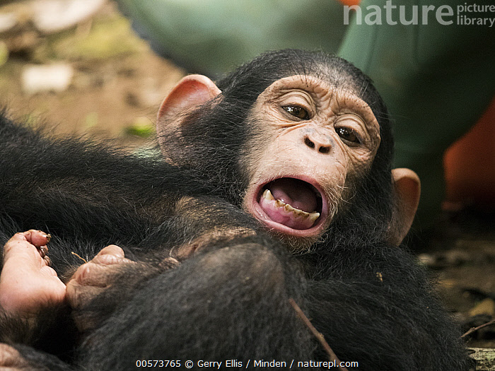 Chimpanzee (Pan troglodytes) orphan Lomie with keeper, Ape Action Africa, Mefou Primate Sanctuary, Cameroon  ,  Baby, Cameroon, Captive, Chimpanzee, Color Image, Day, Endangered Species, Front View, Horizontal, Keeper, Mefou Primate Sanctuary, One Animal, One Person, Open Mouth, Orphan, Outdoors, Pan troglodytes, Photography, Waist Up, Wildlife, Young  ,  Gerry Ellis