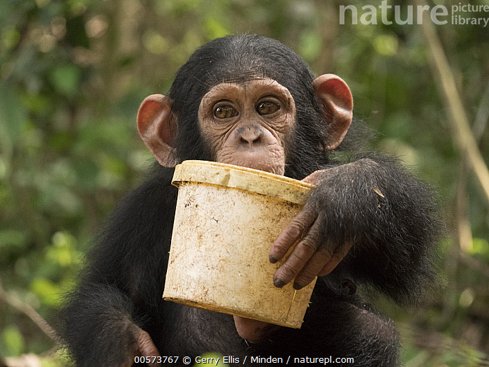 Chimpanzee (Pan troglodytes) orphan Lomie playing with bucket, Ape Action Africa, Mefou Primate Sanctuary, Cameroon  ,  Baby, Bucket, Cameroon, Captive, Chimpanzee, Color Image, Day, Endangered Species, Front View, Holding, Horizontal, Looking at Camera, Mefou Primate Sanctuary, Nobody, One Animal, Orphan, Outdoors, Pan troglodytes, Photography, Playing, Waist Up, Wildlife, Young  ,  Gerry Ellis