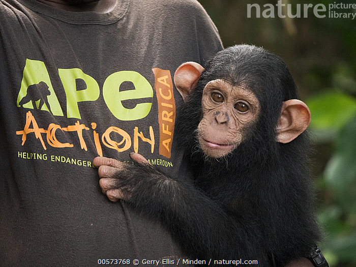Chimpanzee (Pan troglodytes) orphan Lomie with keeper, Ape Action Africa, Mefou Primate Sanctuary, Cameroon  ,  Baby, Cameroon, Captive, Carrying, Chimpanzee, Color Image, Conservation, Day, Endangered Species, Front View, Horizontal, Keeper, Male, Man, Mefou Primate Sanctuary, One Animal, One Person, Orphan, Outdoors, Pan troglodytes, Photography, Side View, Waist Up, Wildlife, Young  ,  Gerry Ellis