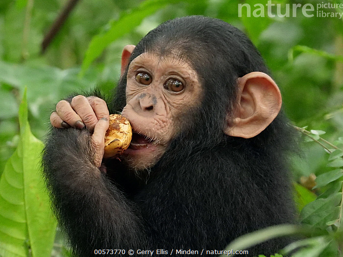 Chimpanzee (Pan troglodytes) orphan Lomie feeding, Ape Action Africa, Mefou Primate Sanctuary, Cameroon  ,  Baby, Cameroon, Captive, Chimpanzee, Close Up, Color Image, Day, Endangered Species, Feeding, Horizontal, Looking at Camera, Mefou Primate Sanctuary, Nobody, One Animal, Orphan, Outdoors, Pan troglodytes, Photography, Side View, Waist Up, Wildlife, Young  ,  Gerry Ellis