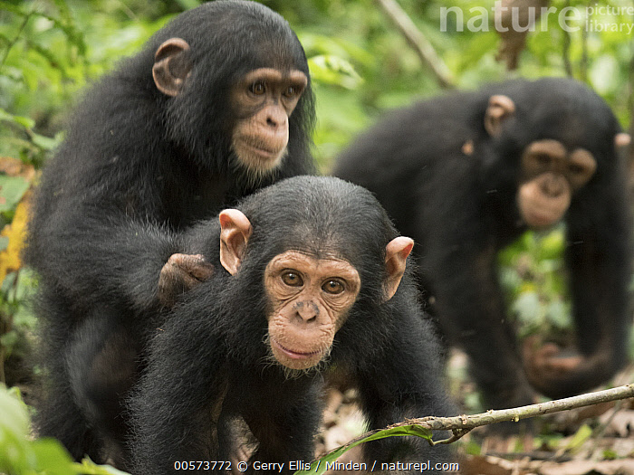 Chimpanzee (Pan troglodytes) orphans Lomie, Jenny and Larry in forest nursery, Ape Action Africa, Mefou Primate Sanctuary, Cameroon  ,  Baby, Cameroon, Captive, Chimpanzee, Color Image, Day, Endangered Species, Front View, Horizontal, Looking at Camera, Mefou Primate Sanctuary, Nobody, Orphan, Outdoors, Pan troglodytes, Photography, Side View, Three Animals, Three Quarter Length, Wildlife, Young  ,  Gerry Ellis