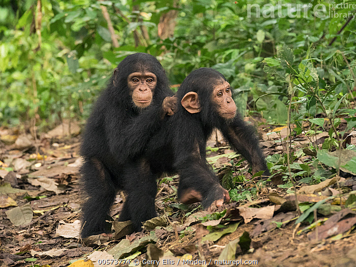 Chimpanzee (Pan troglodytes) orphans Lomie and Jenny holding each other in forest nursery, Ape Action Africa, Mefou Primate Sanctuary, Cameroon  ,  Baby, Cameroon, Captive, Chimpanzee, Color Image, Day, Endangered Species, Full Length, Horizontal, Looking at Camera, Mefou Primate Sanctuary, Nobody, Orphan, Outdoors, Pan troglodytes, Photography, Playing, Side View, Two Animals, Wildlife, Young  ,  Gerry Ellis