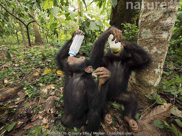 Chimpanzee (Pan troglodytes) orphans Jenny and Larry bottle feeding, Ape Action Africa, Mefou Primate Sanctuary, Cameroon  ,  Baby, Bottle, Cameroon, Captive, Chimpanzee, Color Image, Day, Endangered Species, Feeding, Full Length, Horizontal, Mefou Primate Sanctuary, Nobody, Orphan, Outdoors, Pan troglodytes, Photography, Side View, Two Animals, Wildlife, Young  ,  Gerry Ellis