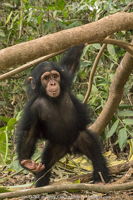 Chimpanzee (Pan troglodytes) orphan, Ape Action Africa, Mefou Primate Sanctuary, Cameroon  ,  Baby, Cameroon, Captive, Chimpanzee, Color Image, Day, Endangered Species, Front View, Full Length, Mefou Primate Sanctuary, Nobody, One Animal, Orphan, Outdoors, Pan troglodytes, Photography, Vertical, Wildlife, Young  ,  Gerry Ellis