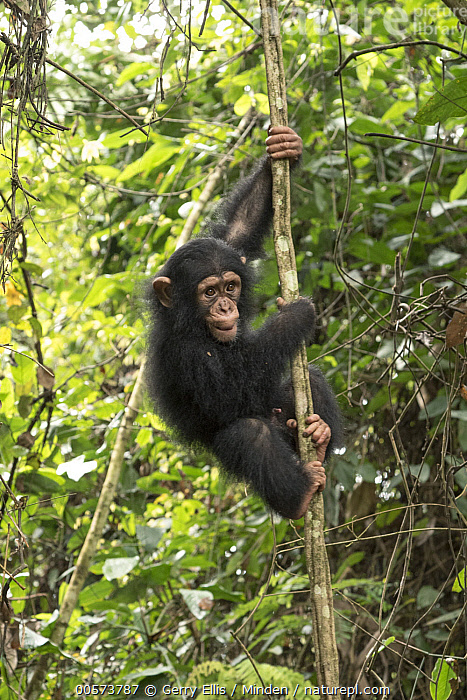 Chimpanzee (Pan troglodytes) orphan Larry climbing in forest nursery, Mefou Primate Sanctuary, Ape Action Africa, Cameroon  ,  Arboreal, Baby, Cameroon, Captive, Chimpanzee, Color Image, Day, Endangered Species, Full Length, Mefou Primate Sanctuary, Nobody, One Animal, Orphan, Outdoors, Pan troglodytes, Photography, Side View, Vertical, Wildlife, Young  ,  Gerry Ellis
