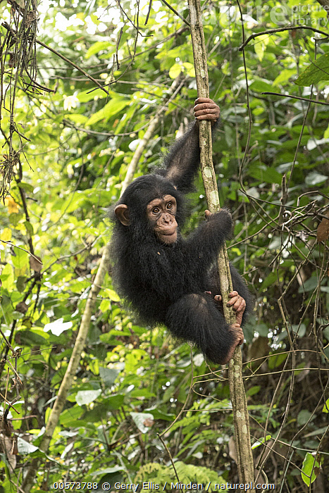 Chimpanzee (Pan troglodytes) orphan Larry in forest nursery, Mefou Primate Sanctuary, Ape Action Africa, Cameroon  ,  Arboreal, Baby, Cameroon, Captive, Chimpanzee, Color Image, Day, Endangered Species, Full Length, Mefou Primate Sanctuary, Nobody, One Animal, Orphan, Outdoors, Pan troglodytes, Photography, Side View, Vertical, Wildlife, Young  ,  Gerry Ellis