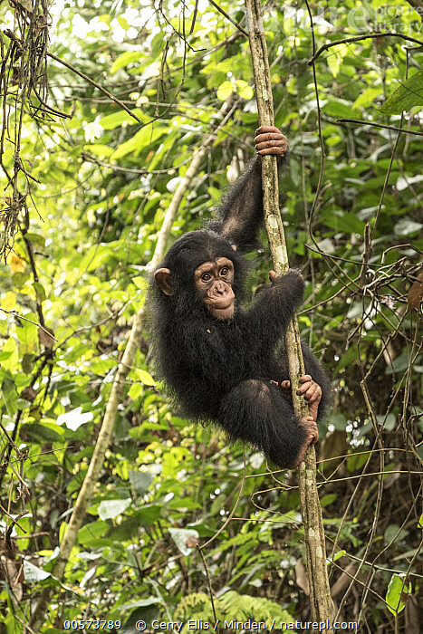 Chimpanzee (Pan troglodytes) orphan Larry climbing in forest nursery, Mefou Primate Sanctuary, Ape Action Africa, Cameroon  ,  Arboreal, Baby, Cameroon, Captive, Chimpanzee, Climbing, Color Image, Day, Endangered Species, Full Length, Mefou Primate Sanctuary, Nobody, One Animal, Orphan, Outdoors, Pan troglodytes, Photography, Side View, Vertical, Wildlife, Young,Arboreal, Baby, Cameroon, Captive, Chimpanzee, Climbing, Color Image, Day, Endangered Species, Full Length, Mefou Primate Sanctuary, Nobody, One Animal, Orphan, Outdoors, Pan troglodytes, Photography, Side View, Vertical, Wildlife, Young  ,  Gerry Ellis